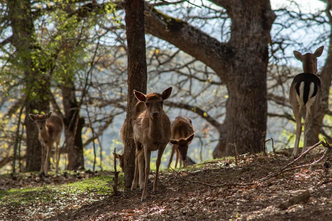 Free living deer