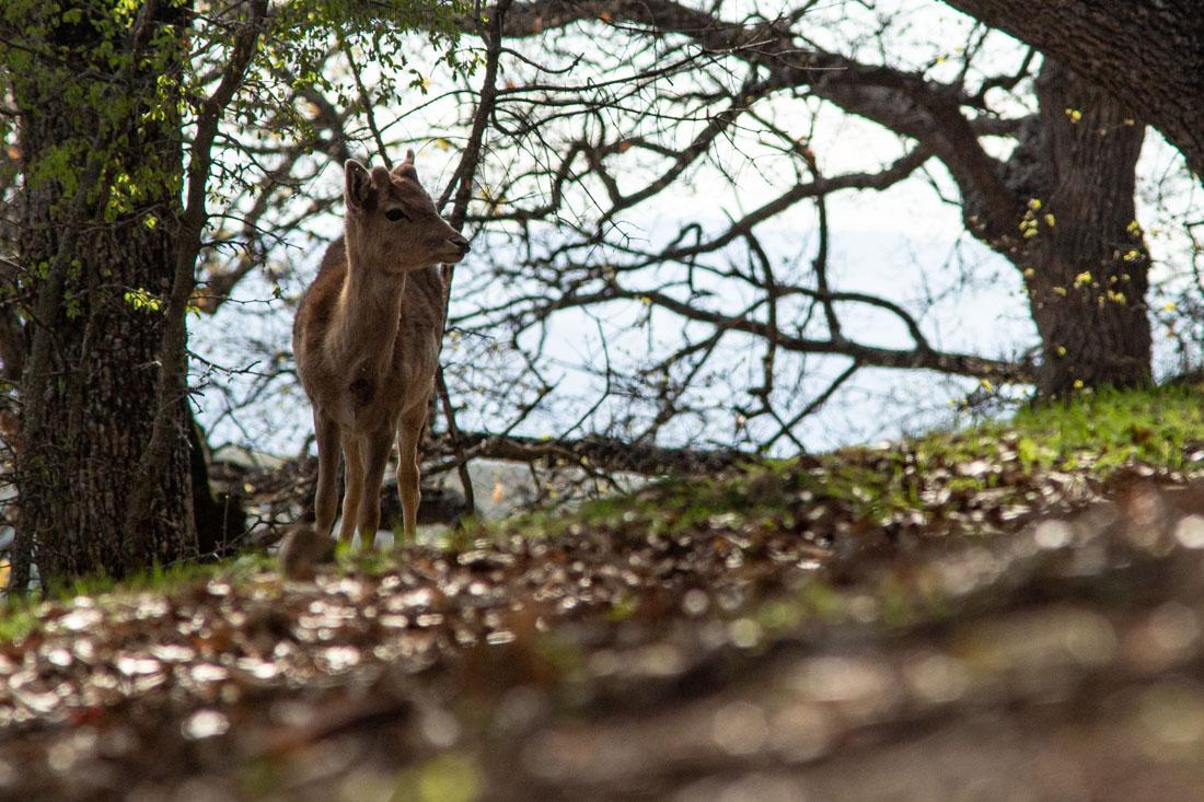 fawn Deer kozani